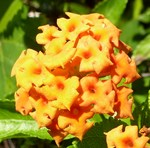 Lantana Orange Explosion Cluster