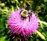 Closeup Bumble bee on Thistle Flower