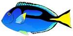 Regal tang Palette Surgeonfish