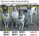 Collie Drug Sensitivity