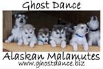Ghost Dance Alaskan Malamute puppies