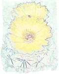 YELLOW BARREL CACTUS FLOWERS