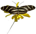 BLACK & WHITE STRIPED BUTTERFLY