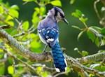Shy Blue Jay