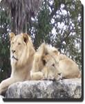 Lion Boys