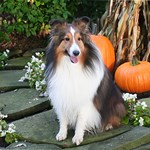 Harvest Sheltie