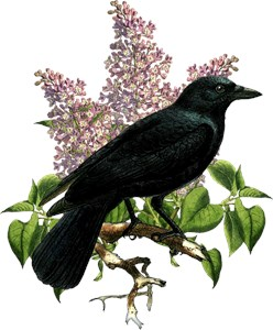 Lilacs And Crow