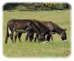 Donkeys 9R018D-012