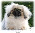 Pekingese 9Y065D-013