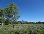 Teton Birches in Field