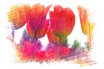 color pencil sketch red tulip flowers. floral art.