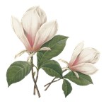 Vintage pink magnolia. Redoute