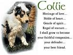 Blue Merle Collie Puppy