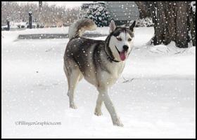 Husky / Malamute Christmas Holiday