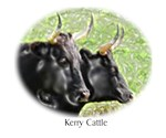 Kerry Cattle