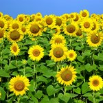 Sunflower Clocks, Mouspads & Gifts!