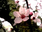 Cherry Blossom, 1
