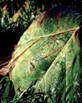 Dew on Fallen Leaf