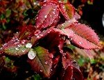 Red Leaves in the Rain