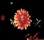 Orange Flower, Dark