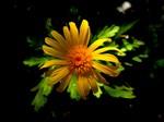 Wilting Yellow Daisy, 1