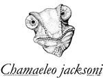 Chamaeleo jacksoni