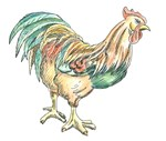 Chicken Color Illustration