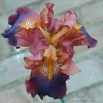 Irises Galore