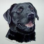 Tejas, Black Labrador Retriever
