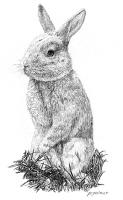 Mini Rex Bunny Rabbit