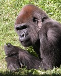 Gorillas, Orangutans and more