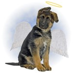 Angel German Shepherd Puppy