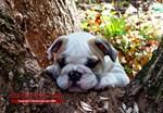 Bulldog Postcards