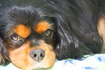 Painted Black And Tan Cavalier