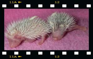 Baby hedgies!