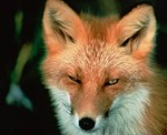 Sly Red Fox