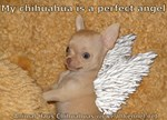 My Chihuahua is a Perfect Angel!