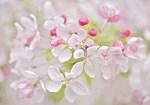 Pink Sakura Cherry Blossom Floral
