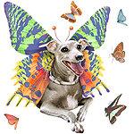 Italian Greyhound Bittyfly