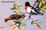Rose-Breasted Grosbeak Bird