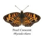 Pearl Crescent