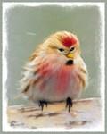 Common Redpoll Christmas Card