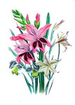 Pink and White Gladiolas by Loudon
