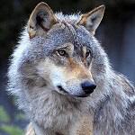 Gray Wolf Lover Gift Idea