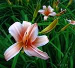 .peach daylily.