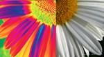 halfway daisy - all color