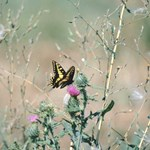 Western Tiger Swallowtail (3)