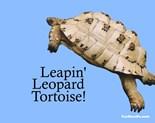 Leapin' Leopard Tortoise