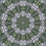 Grey Lace Calliope