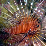 Spotted Lion Fish